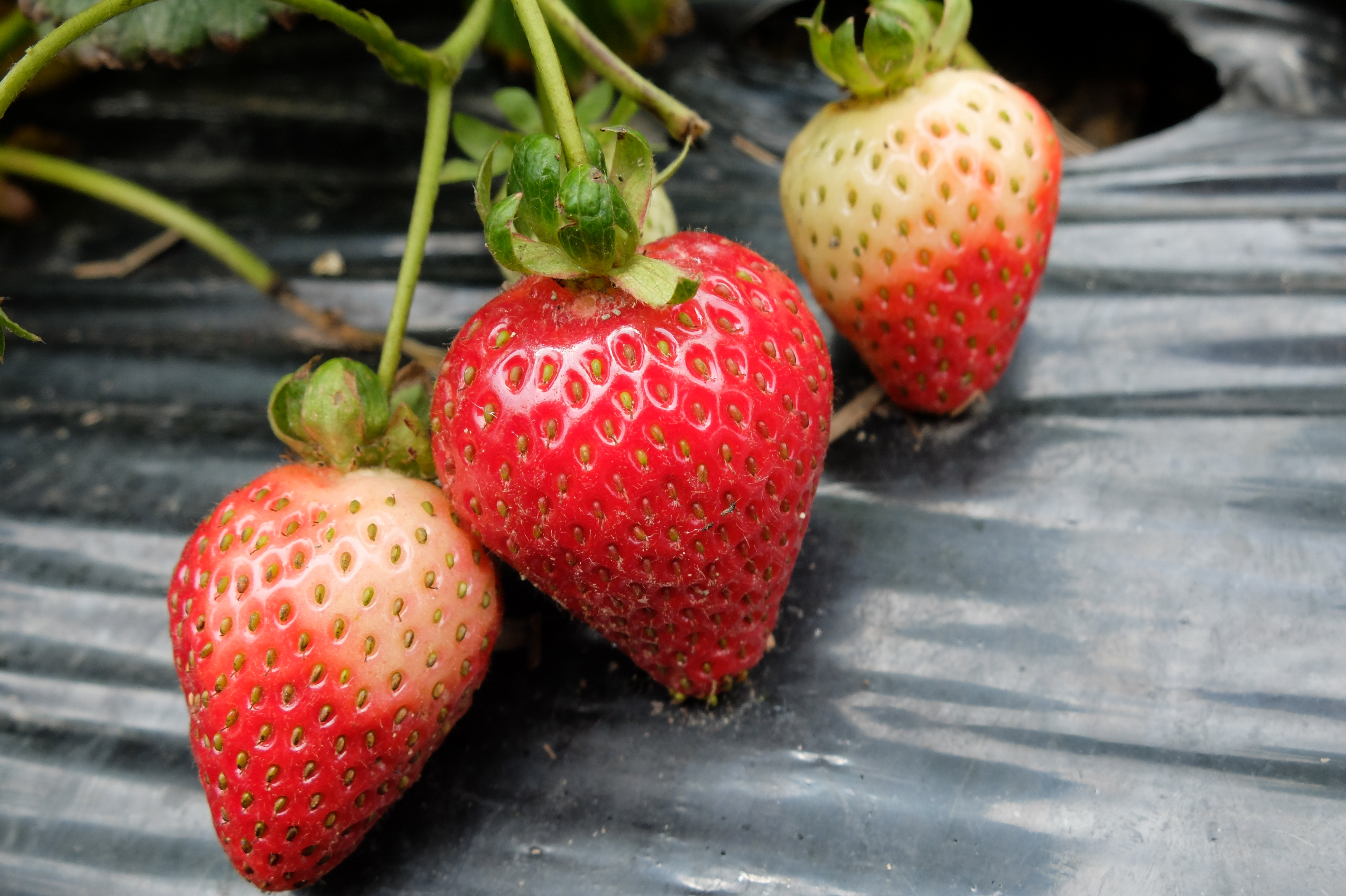 Strawberry Patch Is Open At Beerenberg Farm Foodie Ling